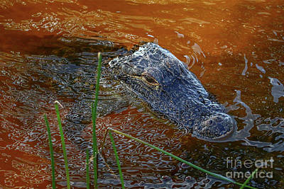 Photograph - Squiggly Water Gator by Tom Claud