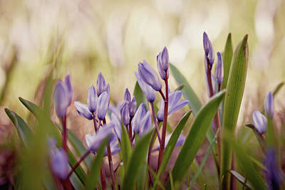 Photograph - Squill by Cindy Grundsten