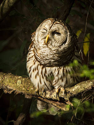 Photograph - Squinting Barred Owl by Jean Noren