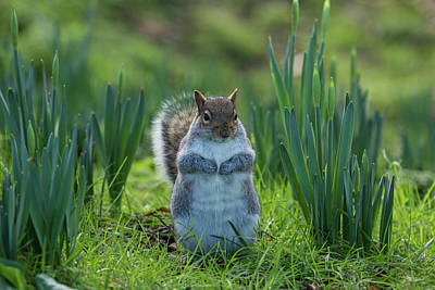 Photograph - Squirrel Among The Daffodils by Leah Palmer