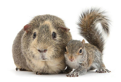 Photograph - Squirrel And Guinea by Warren Photographic