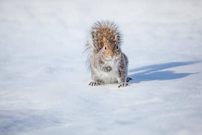 Photograph - Squirrel And His Shadow by Karol Livote