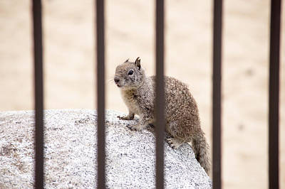 Photograph - Squirrel Behind Bards by Brent Dolliver