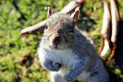 Photograph - Squirrel Close-up by Helga Novelli