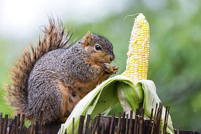 Photograph - Squirrel Corn by James BO Insogna