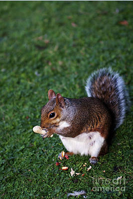 Photograph - Squirrel Eating by Agusti Pardo Rossello