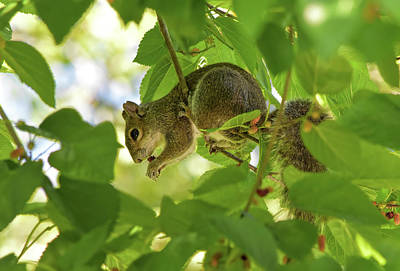 Photograph - Squirrel Eating Mulberry by William Tasker