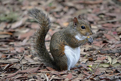 Photograph - Squirrel Eating Nut by Aimee L Maher ALM GALLERY