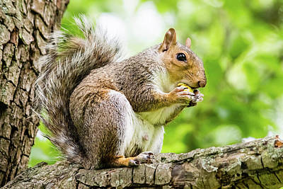 Photograph - Squirrel Eating On A Branch by Jacek Wojnarowski