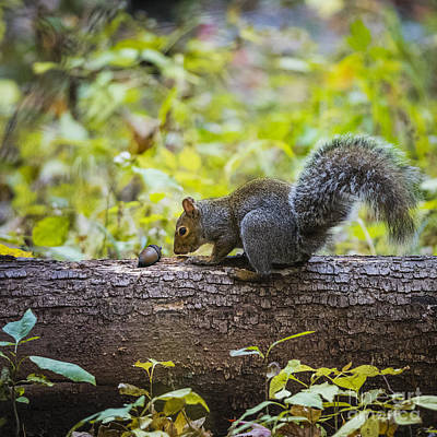 Photograph - Squirrel Gathering by Joann Long