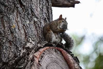Photograph - Squirrel Grooming by Christopher L Thomley
