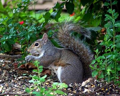 Photograph - Squirrel IIi by Jai Johnson