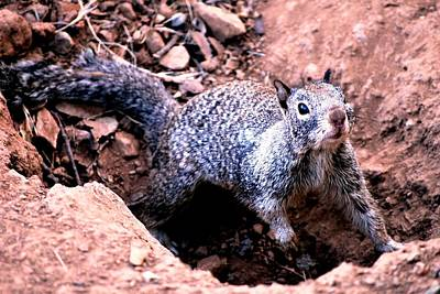 Photograph - Squirrel In A Hole by Matt Harang