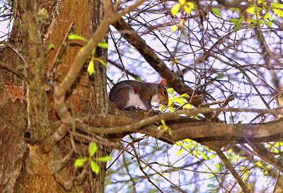 Photograph - Squirrel In A Tree 003 by George Bostian