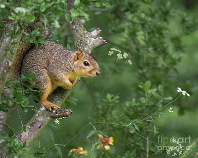 Photograph - Squirrel In A Tree by David Cutts