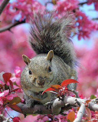 Print featuring the photograph Squirrel In Apple Blossoms by Doris Potter