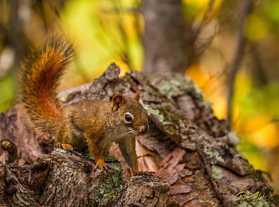 Photograph - Squirrel In Fall Colors by Rikk Flohr