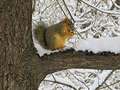 Bryants Fox Squirrel Photograph - Squirrel In The Snow by Connor Beekman