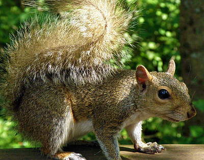 Squirrel In The Sunshine Art Print by Rose  Hill