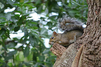 Photograph - Squirrel In The Tree by Aimee L Maher Photography and Art Visit ALMGallerydotcom