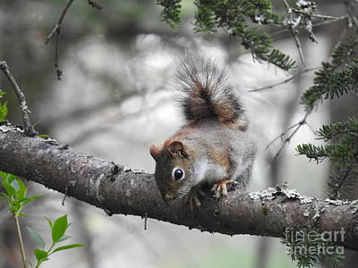 Photograph - Squirrel In The Trees  by Eunice Miller