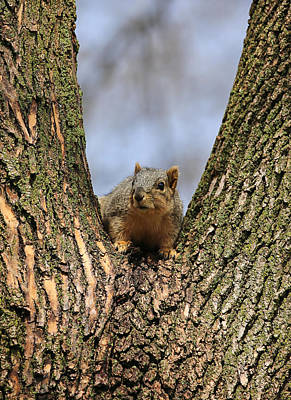The Champagne Collection - Squirrel In Tree Fork by Theresa Campbell