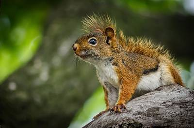 Photograph - Squirrel by Jeff S PhotoArt