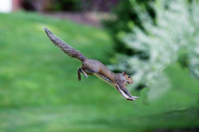 Photograph - Squirrel Jumping To Safe Haven by Dan Friend