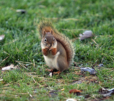 Photograph - Squirrel by Kathy DesJardins