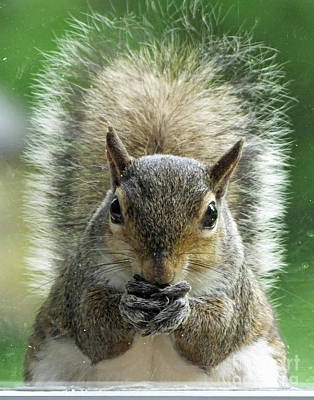 Photograph - Squirrel  by Lizi Beard-Ward