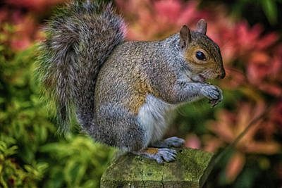 Rodent Wall Art - Photograph - Squirrel by Martin Newman