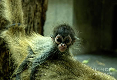Photograph - Squirrel Monkey by Michelle Meenawong