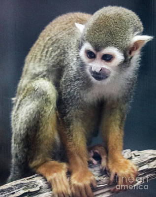 Photograph - Squirrel Monkey by Suzanne Luft
