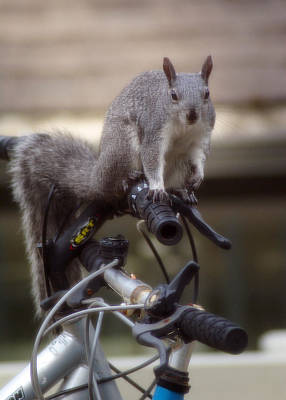 Photograph - Squirrel On A Bike #1 by Ben Upham III