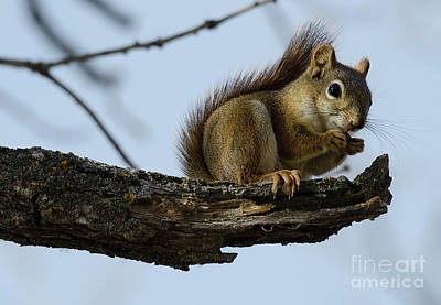 Photograph - Squirrel On A Limb by Bob Christopher