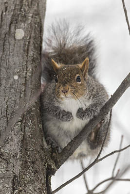 Photograph - Squirrel On A Tree by Josef Pittner