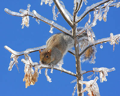 Print featuring the photograph Squirrel On Icy Branches by Doris Potter