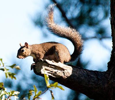 Squirrel On Limb Art Print by Bill Perry