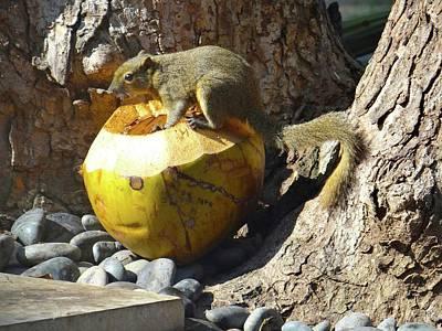 Exploramum Photograph - Squirrel On The Coconut by Exploramum Exploramum