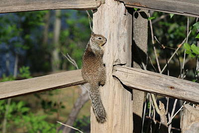 Photograph - Squirrel On The Fence - 2 by Christy Pooschke
