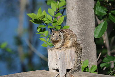 Photograph - Squirrel On The Fence  by Christy Pooschke