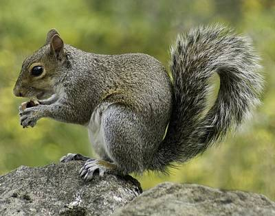 Photograph - Squirrel, On The Hop by Mary J Tait