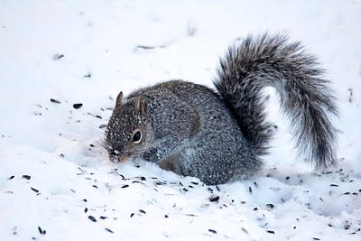 Photograph - Squirrel On The Hunt by Trina Ansel