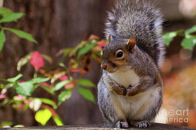 Photograph - Squirrel Patiently Begs by Jennifer White