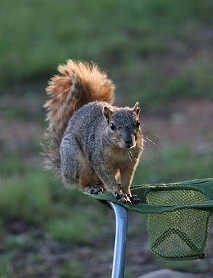 Photograph - Squirrel Perched On Lawn Chair by Christy Pooschke