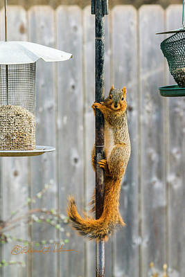 Photograph - Squirrel Pole Dancer by Edward Peterson