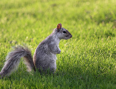 Photograph - Squirrel Profile by Cristina Stefan