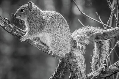Photograph - Squirrel Resting Black And White Image by Bruce Pritchett
