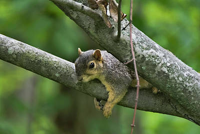 Photograph - Squirrel Resting by Ron Grafe