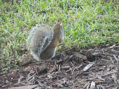 Photograph - Squirrel by Ron Davidson